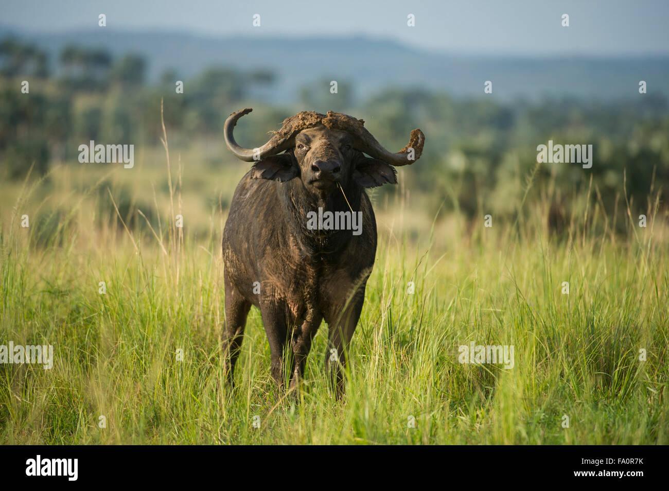 Büffel (Syncerus Caffer Caffer), Murchison Falls National Park, Uganda Stockbild