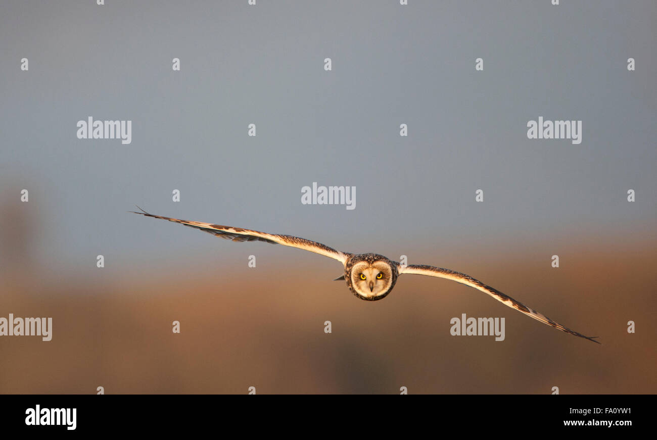 Sumpfohreule, Asio Flammeus, Stockfoto