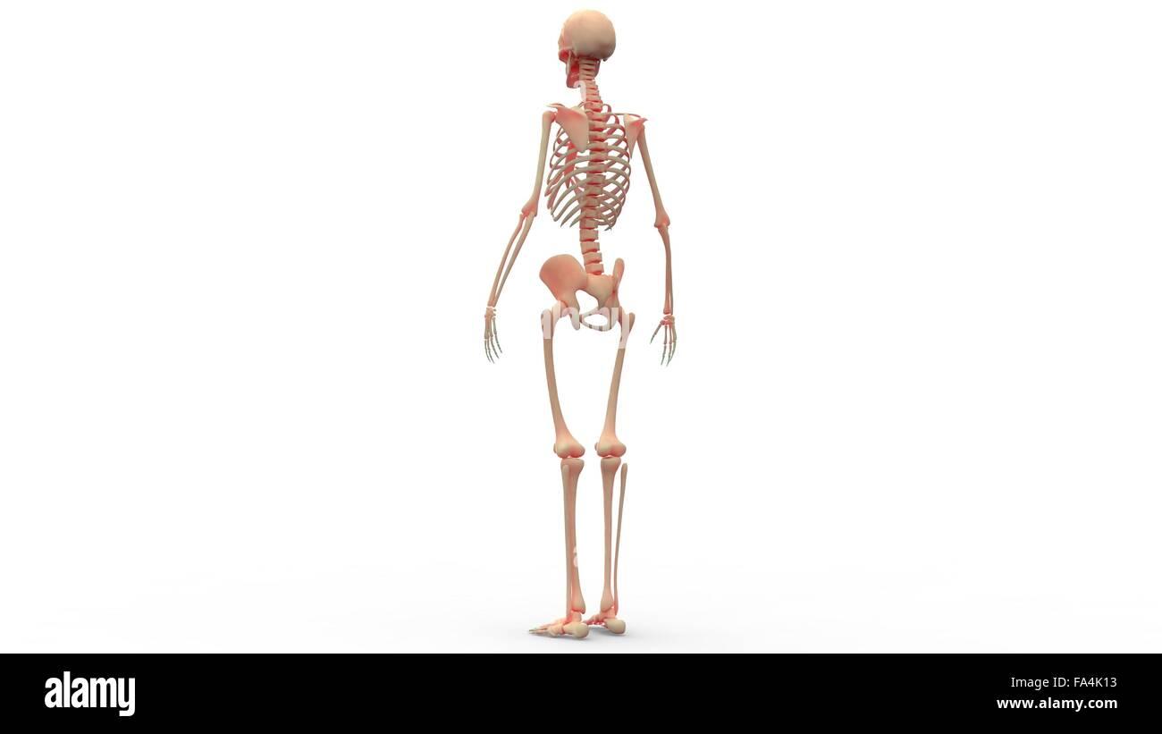 Fantastisch Anatomie Und Physiologie Skelettsystem Spiele Bilder ...