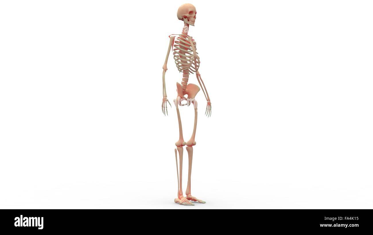 Großartig Skelett System Rückansicht Zeitgenössisch - Anatomie Ideen ...