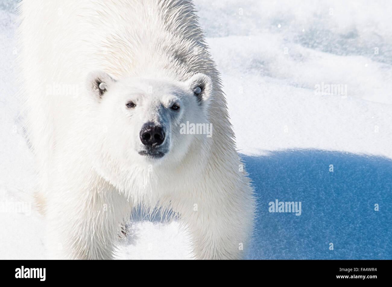 Close Up eines jungen Erwachsenen Eisbären mit Tags in seinen Ohren, so dass er verfolgt werden kann, Ursus Stockbild