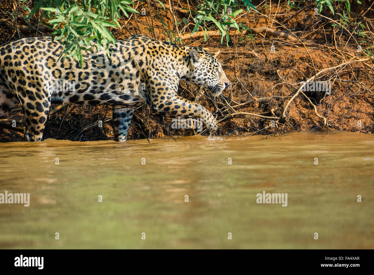 Profil eines Jaguars, Panthera Onca Jagd entlang eines Flusses in das Pantanal, Mato Grosso, Brasilien, Südamerika Stockbild