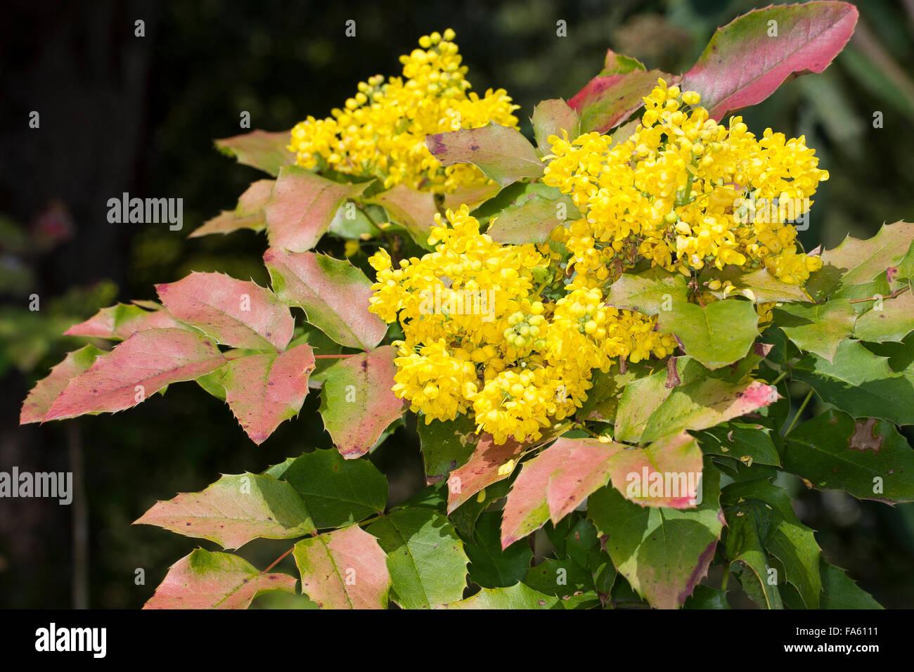 mahonia aquifolium stockfotos mahonia aquifolium bilder alamy. Black Bedroom Furniture Sets. Home Design Ideas