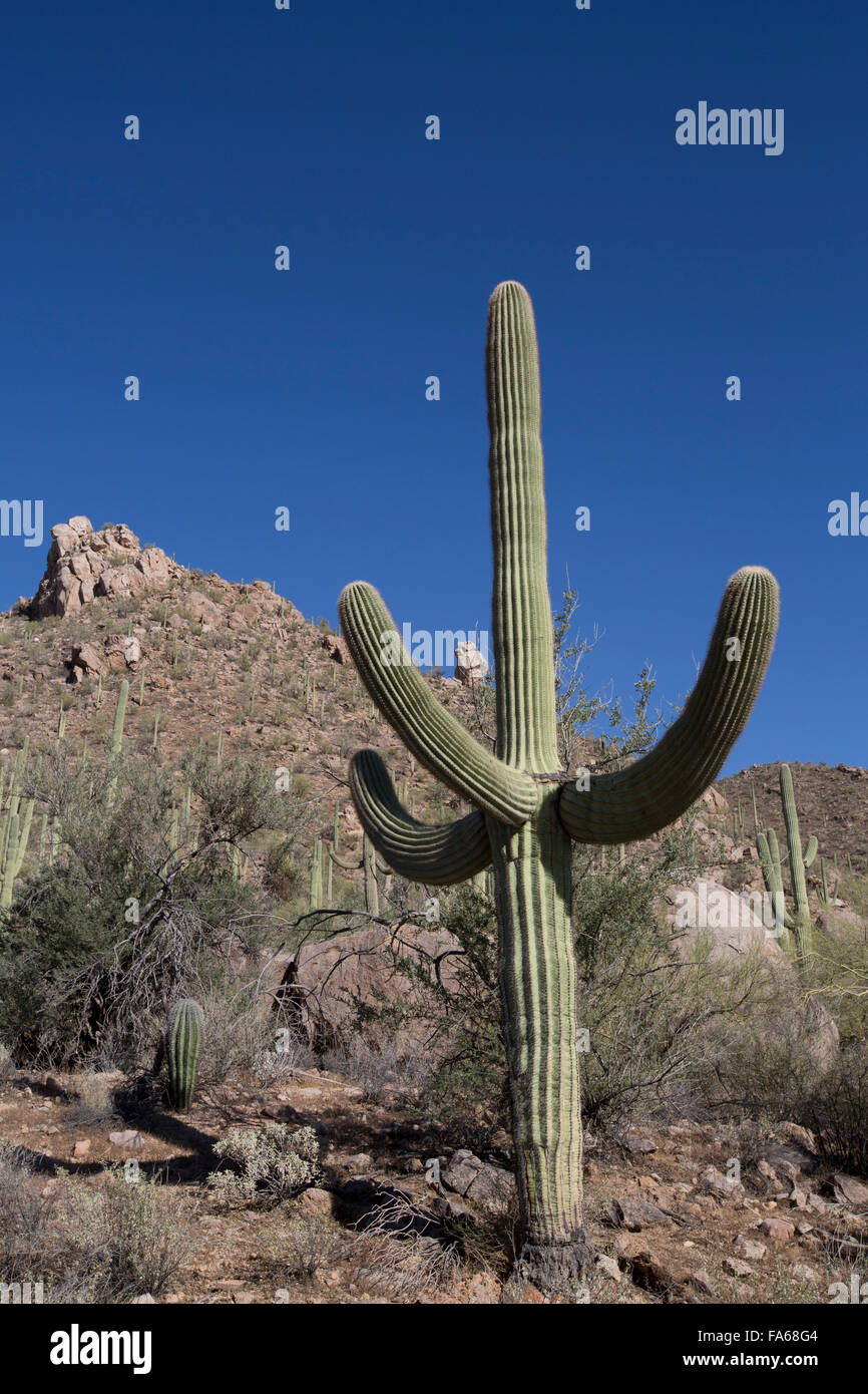 Saguaro-Nationalpark, West-Tucson Mountain District, Saguaro Kaktus (Camegiea Gigantea), Arizona, USA Stockfoto