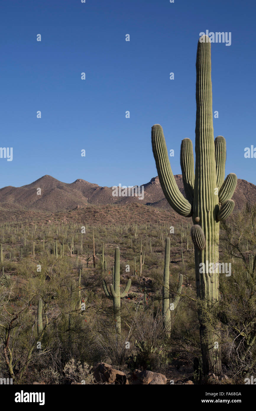 Saguaro-Nationalpark, West-Tucson Mountain District, Saguaro Kaktus (Camegiea Gigantea), Arizona, USA Stockfoto