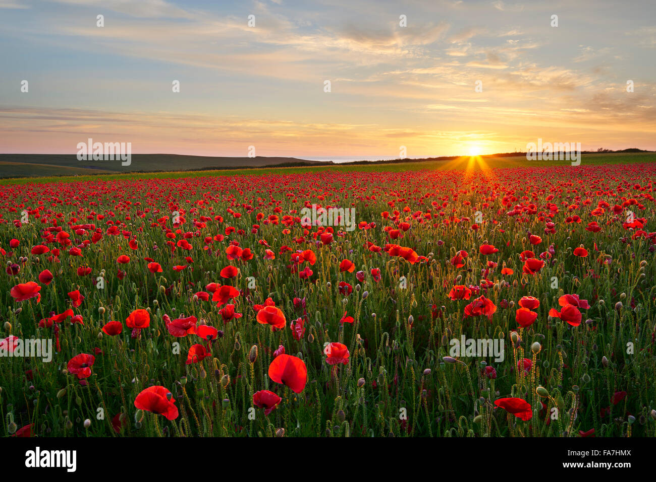 Mohnfeld in voller Blüte, Cornwall Stockbild