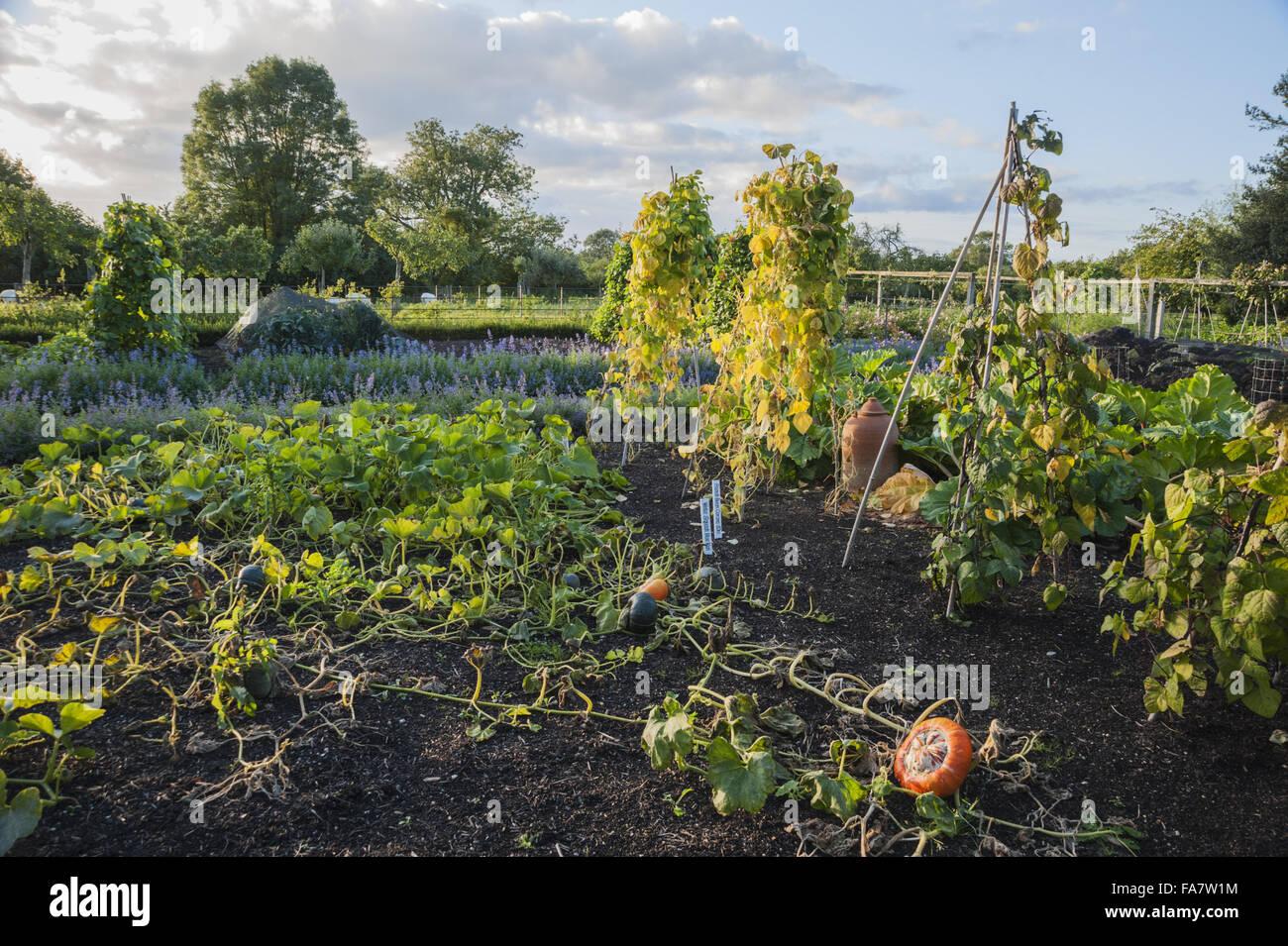 Der Küchengarten am Tintinhull, Somerset, im September mit Kürbis ...