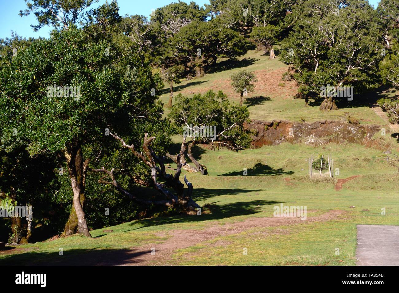 Alten Lorbeerwald (Lorbeerwald) auf Madeira, stammt aus dem Tertiär und Teil des Naturparks Madeiras Stockbild