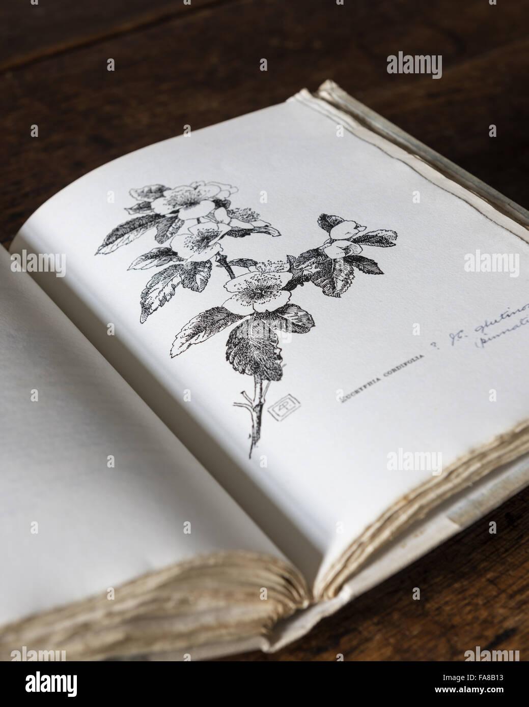 """Bebilderte Seite aus """"A Garden Flora: Bäume und Blumen in den Gärten bei Nymans von L. Messel, 1918, Stockbild"""