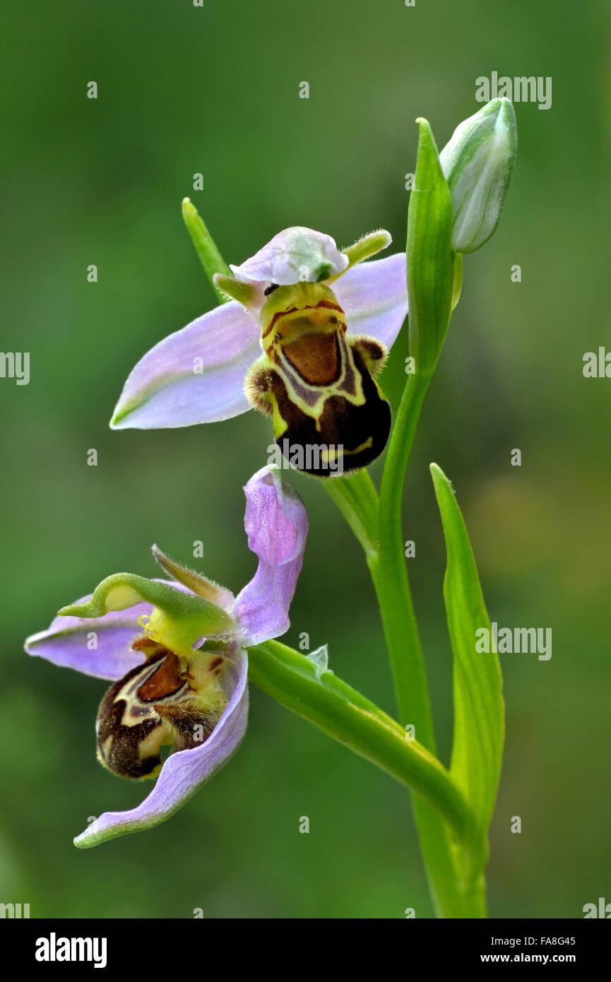 Biene-Orchideen (Ophrys Apifera / Orchis Apifera) in Blüte Stockbild