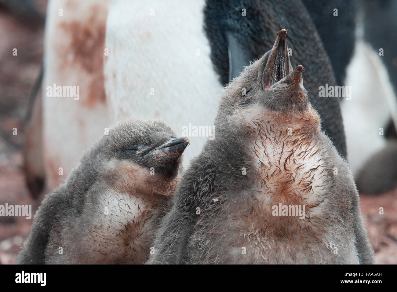 Kinnriemen-Pinguin-Familie mit zwei Küken (Pygoscelis Antarcticus), Hannah Point, antarktische Halbinsel. Stockbild