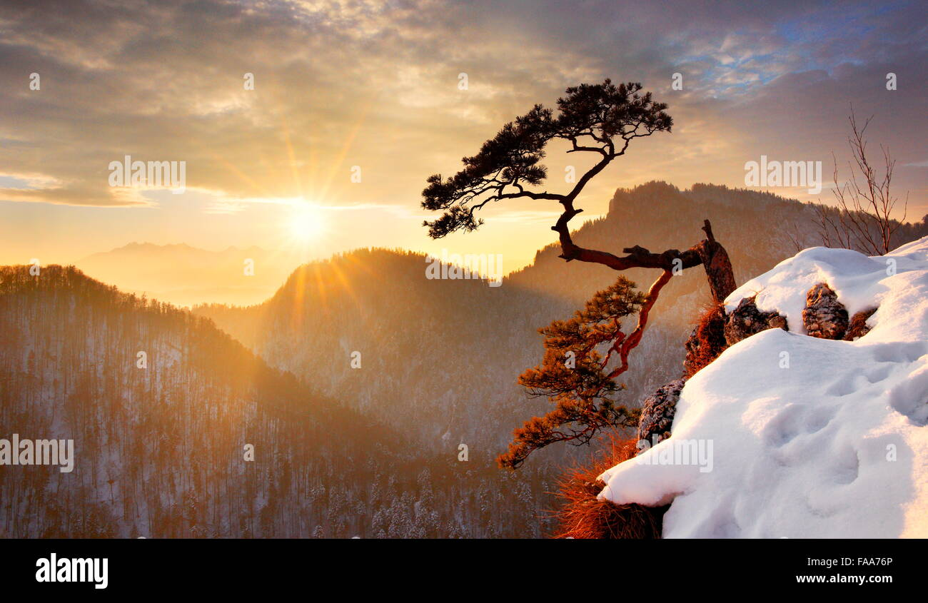 Allein einzelne Kiefer im Sokolica Cliff Pieninen-Nationalpark bei Sonnenuntergang, Polen Stockbild