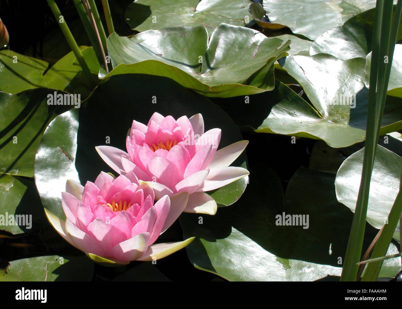 rosa Lilien Wasser Stockbild
