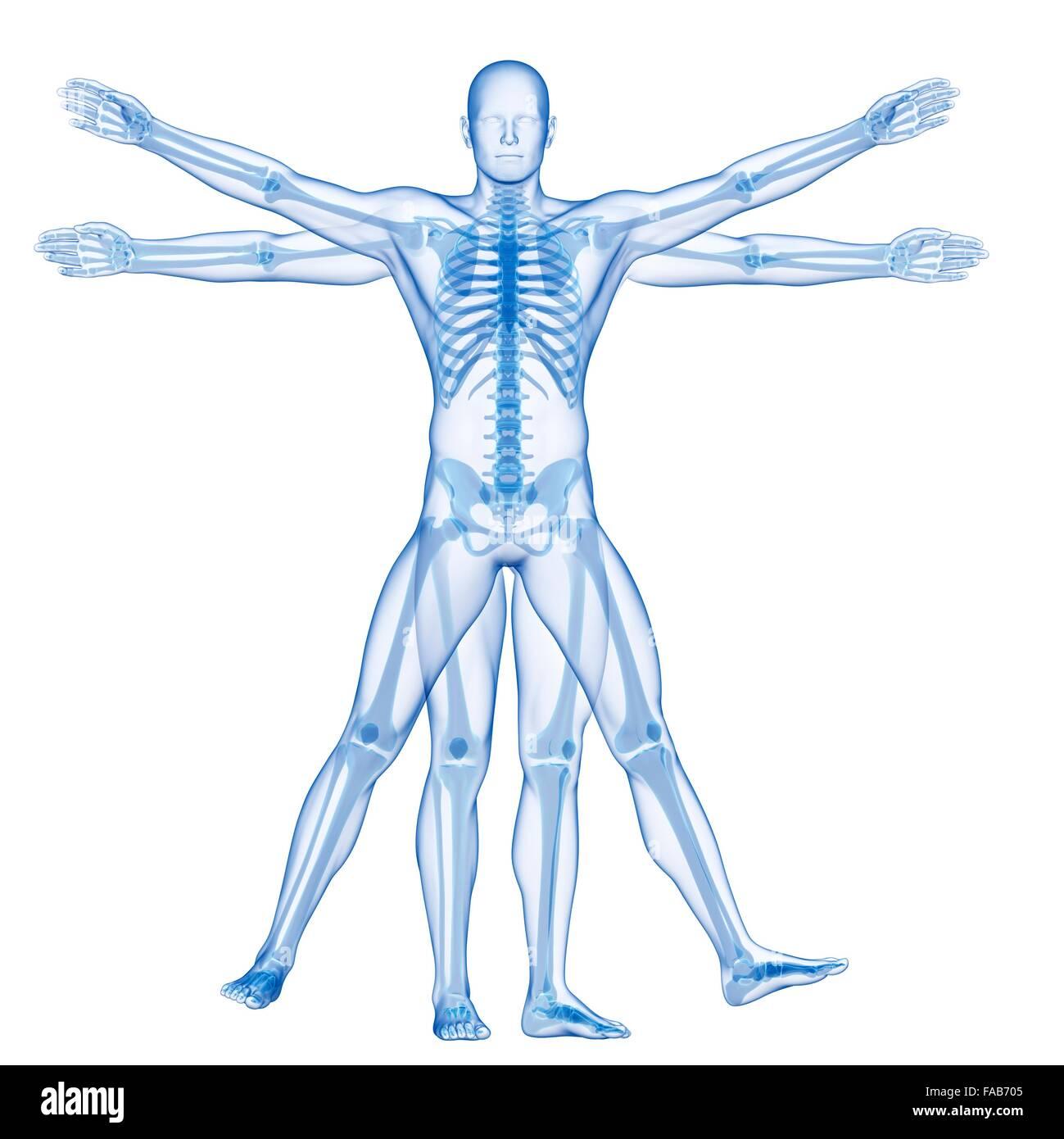 Menschliches Skelett-Systems (Vitruvian Mann), Computer-Illustration ...