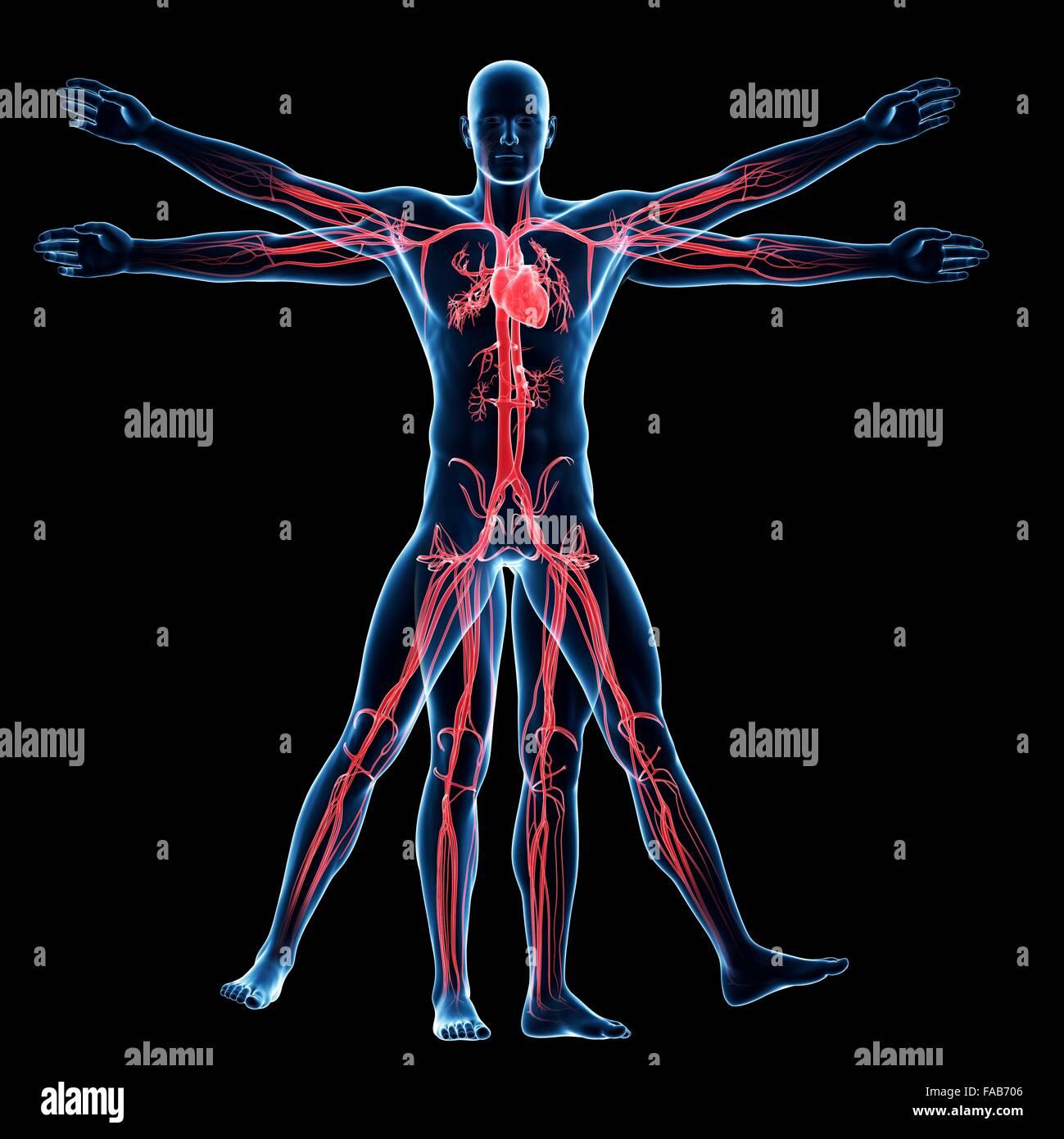 Menschliche Gefäßsystem (Vitruvian Mann), Computer-Illustration ...