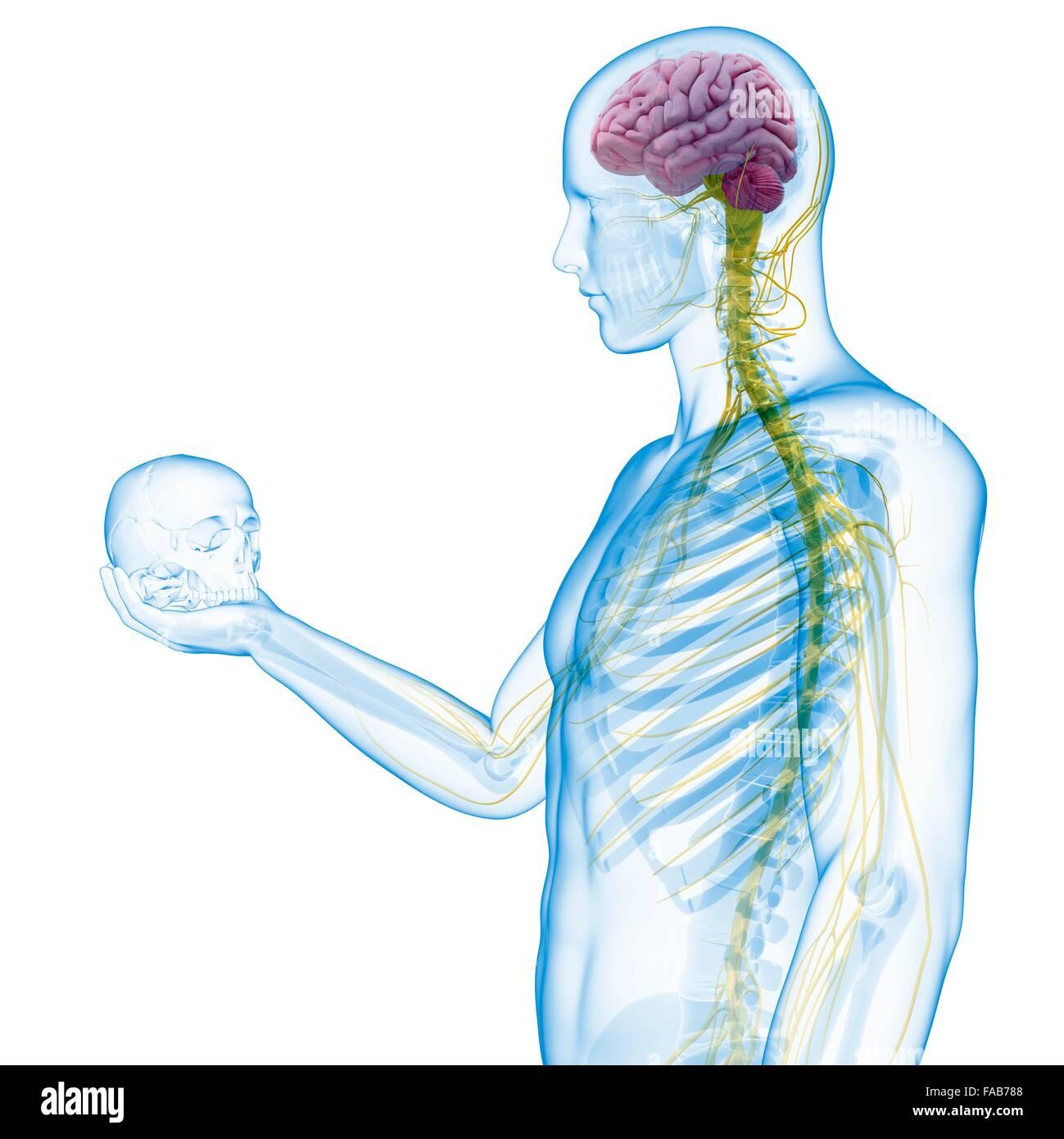 Person, die einen Schädel zeigt das menschliche Nervensystem ...