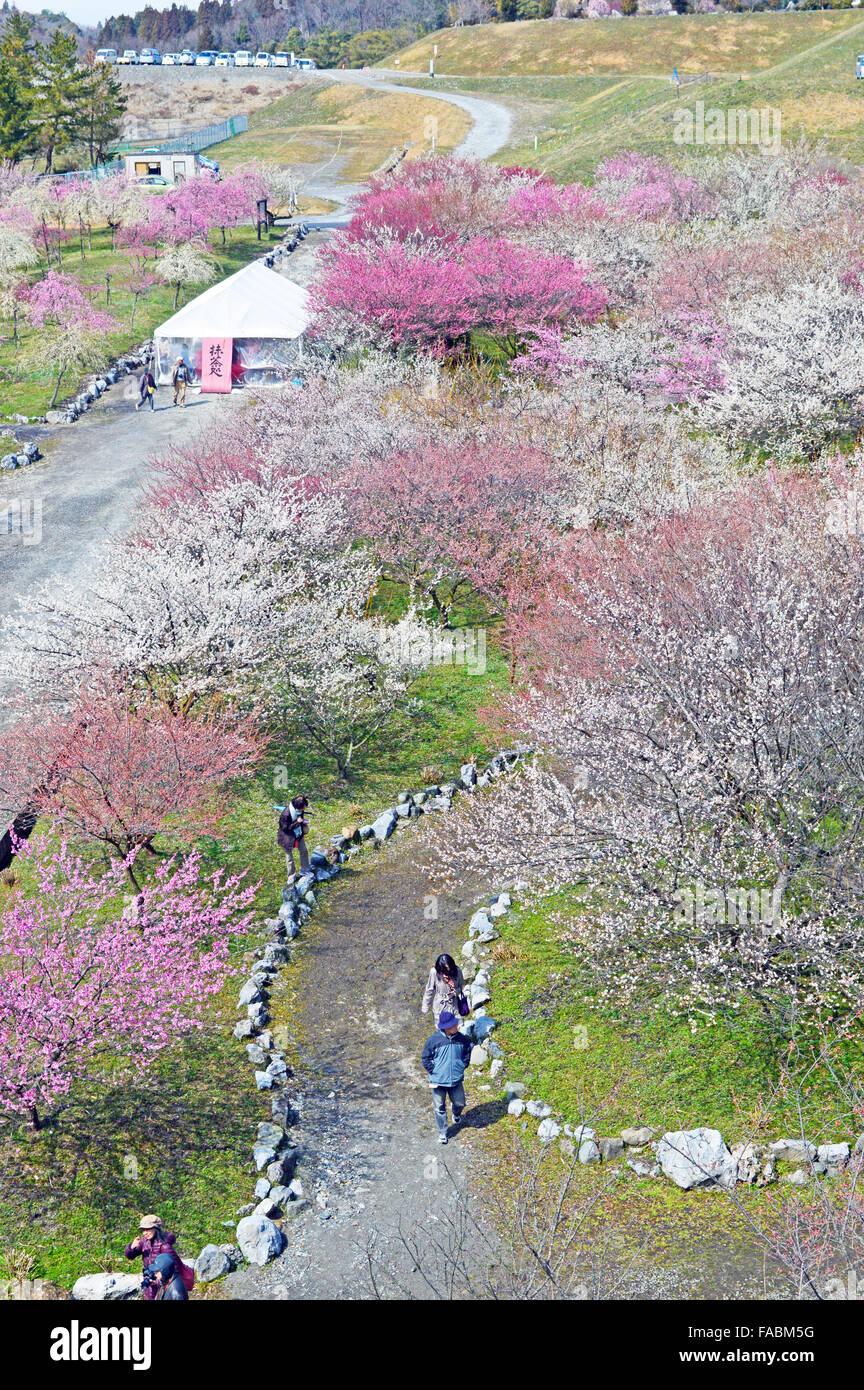 Pflaumenblüte in Japan Stockbild