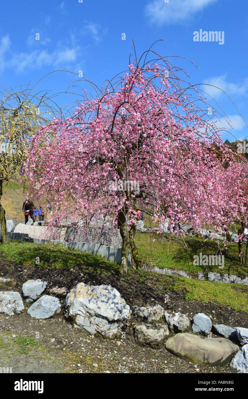 Pflaumenblüte in Mie, Japan Stockbild