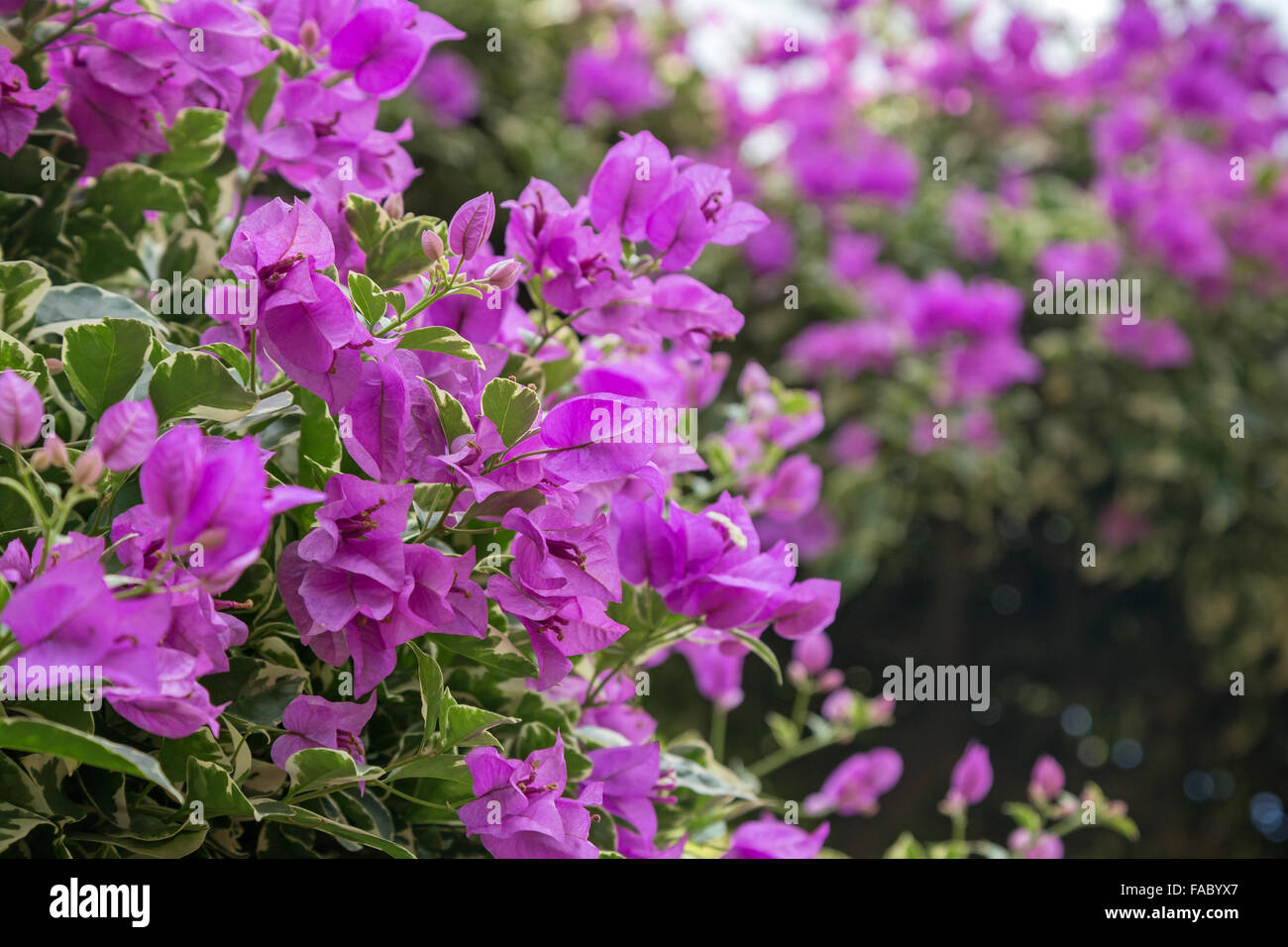 violet flowers bougainvillea stockfotos violet flowers. Black Bedroom Furniture Sets. Home Design Ideas