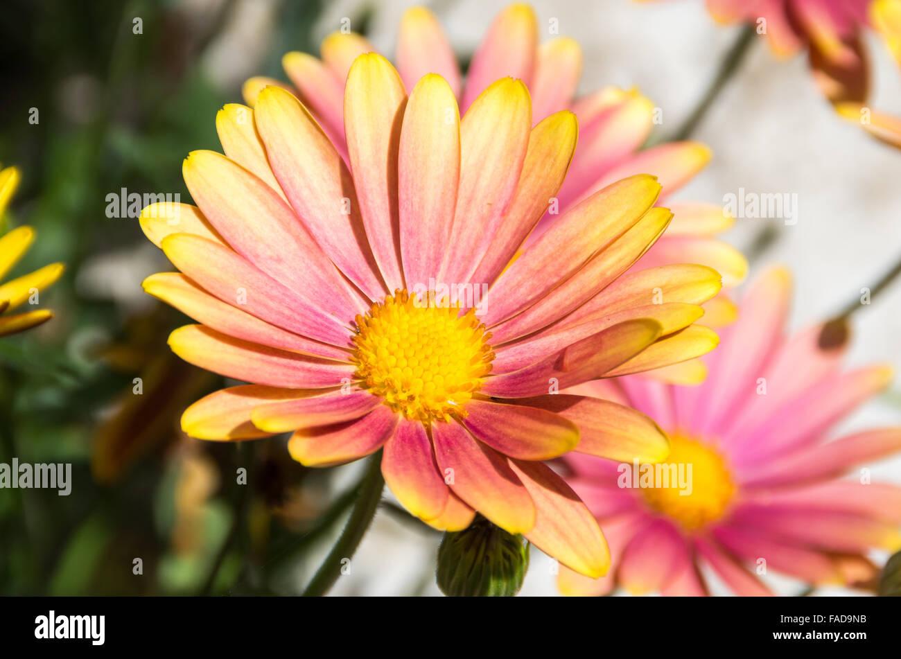 Rosa und gelbe Osteospermum / Cape Daisy der sonnigen Bella Sorte an einem hellen Tag Stockfoto