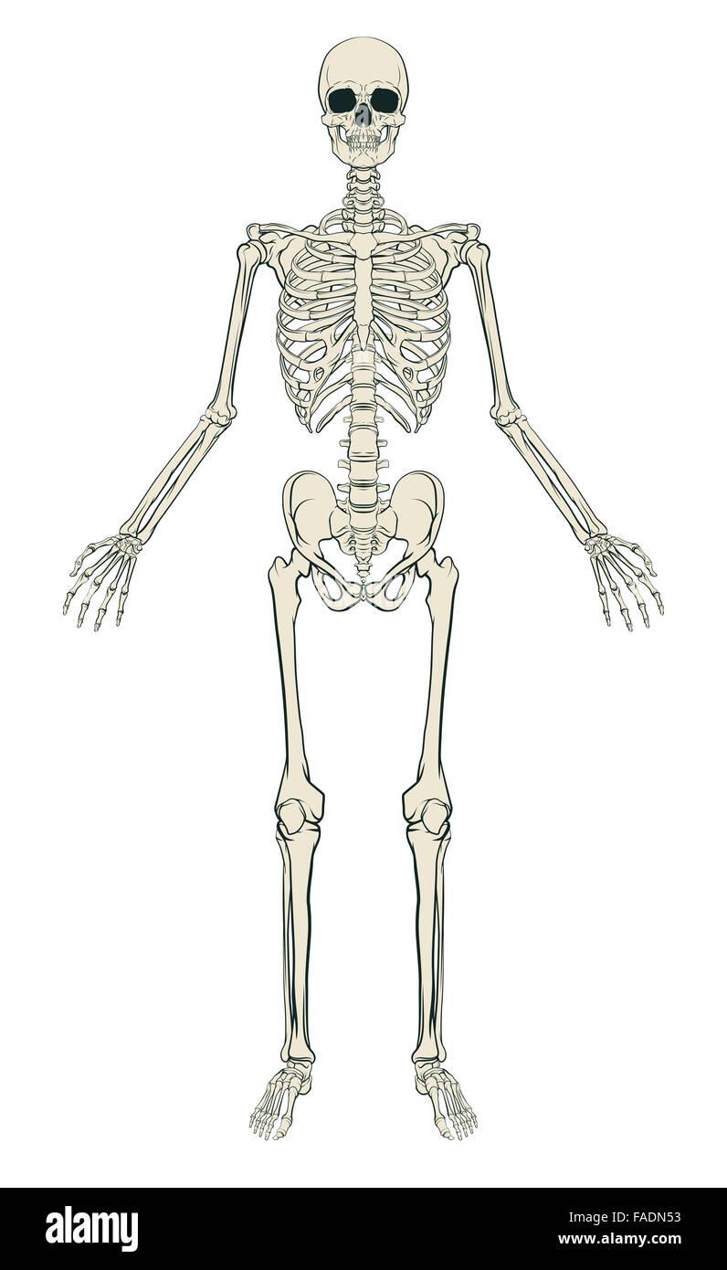 Berühmt Menschliches Skelett Gekennzeichnet Zeitgenössisch ...