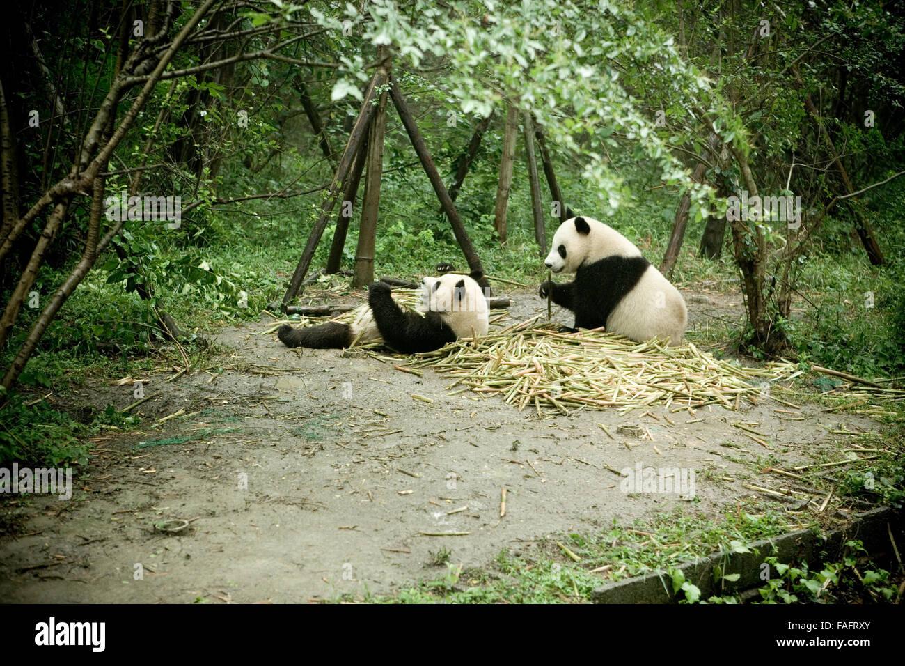 A Paar Riesenpanda Geniessen Essen Bambus In Das Panda Reservat In