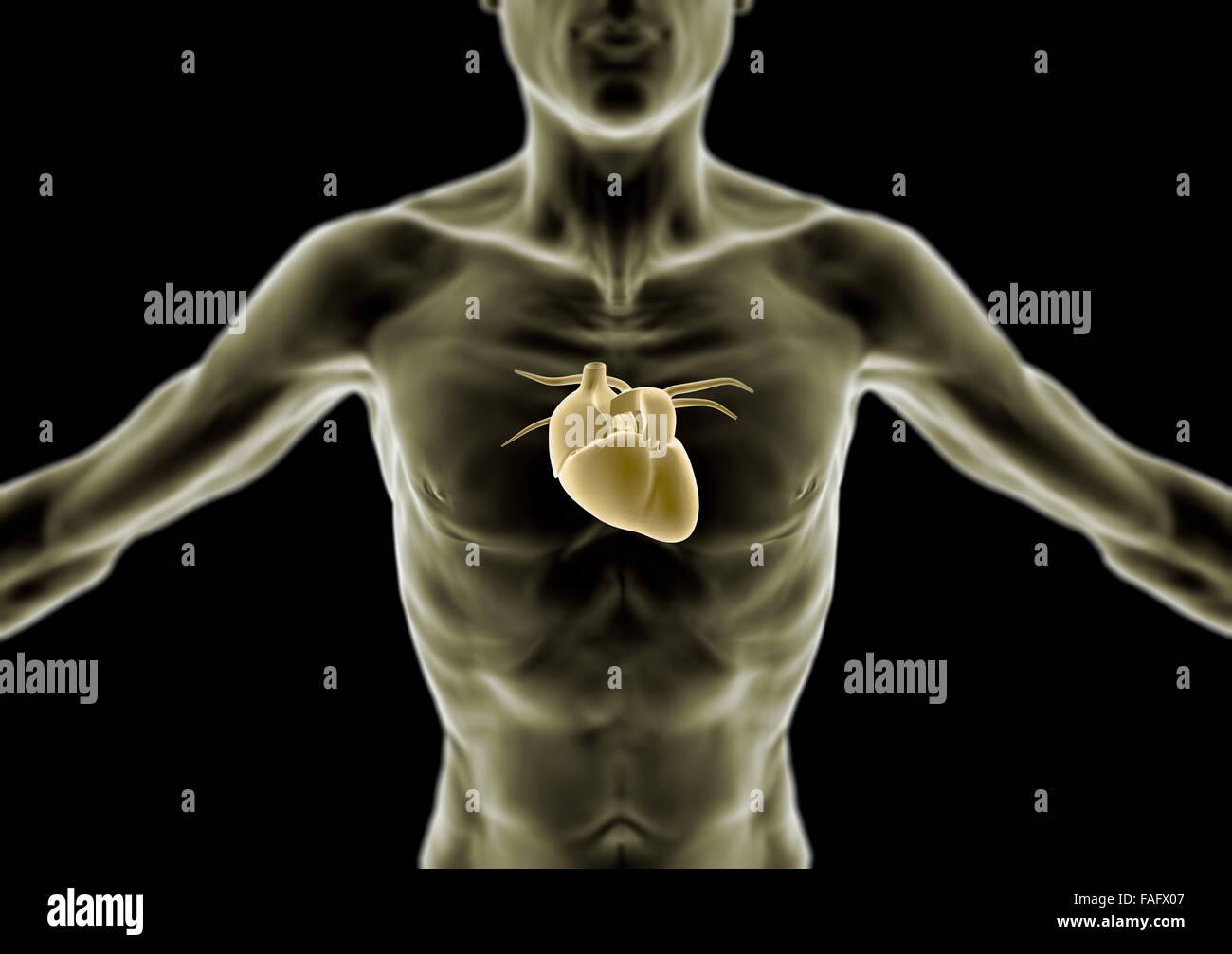 menschliche Körper in 3D, dünne Person, Herz und Anatomie ...