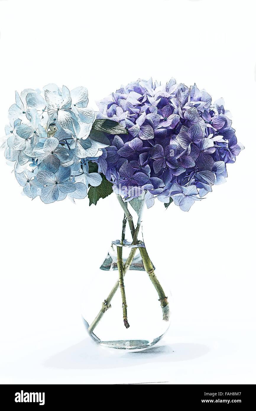 Blaue Hortensien in einer Vase auf weißem Hintergrund Stockbild