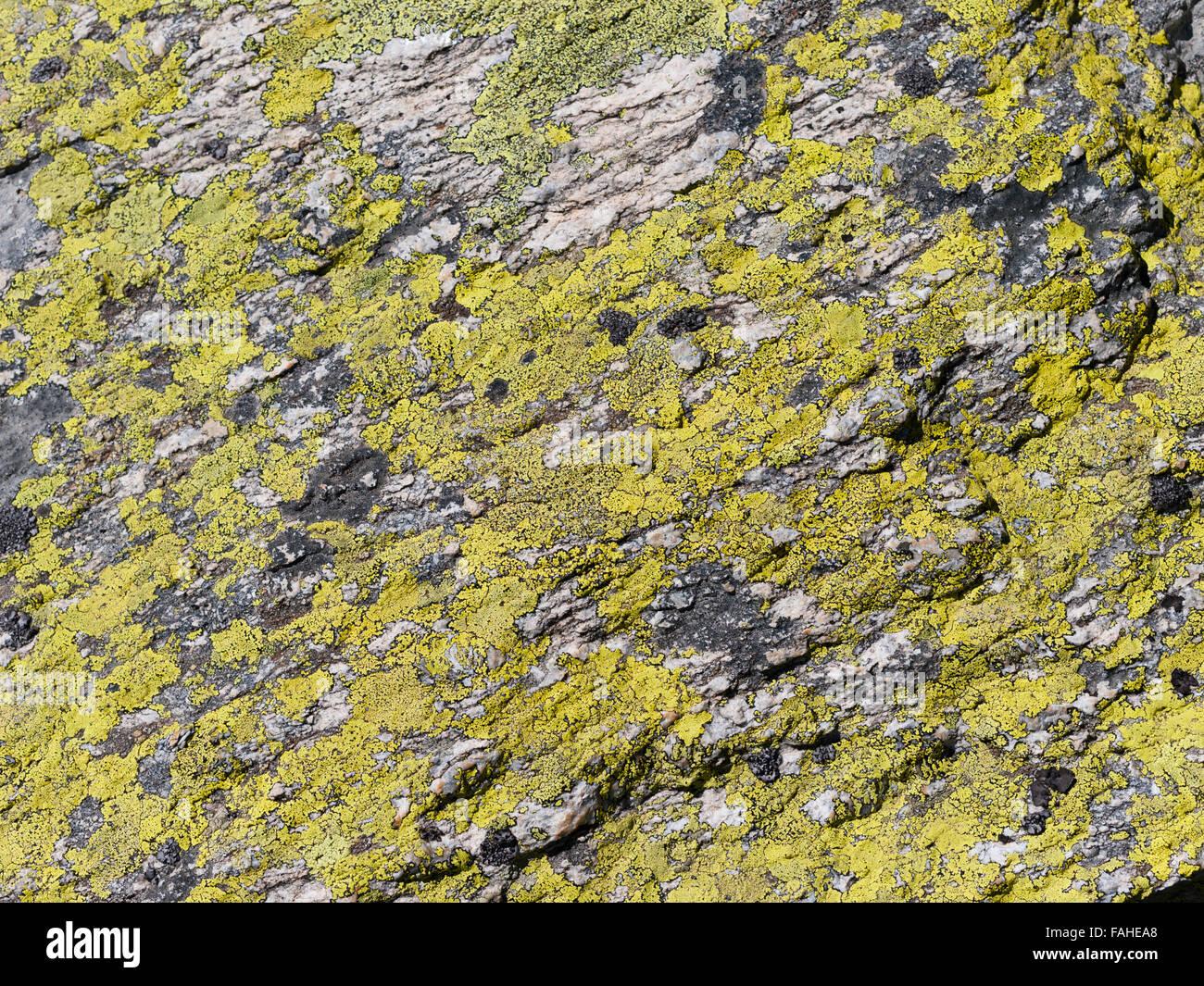 Vivid farbige Flechten auf einem Felsen Stockbild