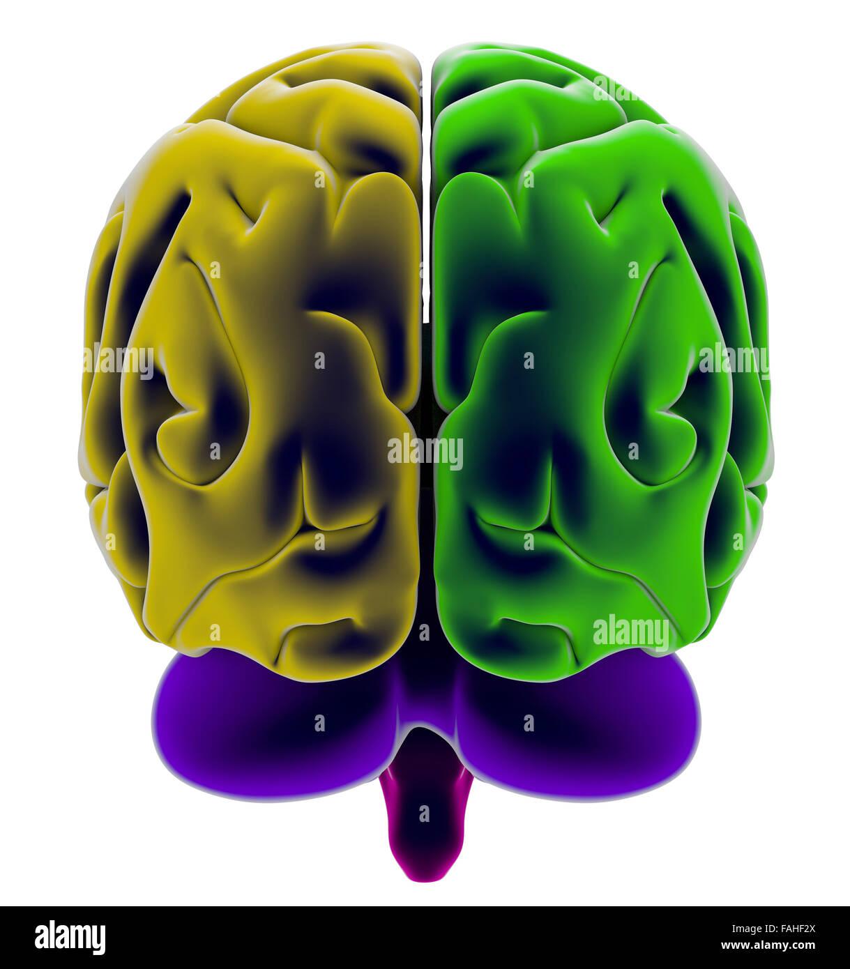 Gehirn, Abschnitt, Abteilung, Schneidwerkzeuge, Anatomie-Studie ...
