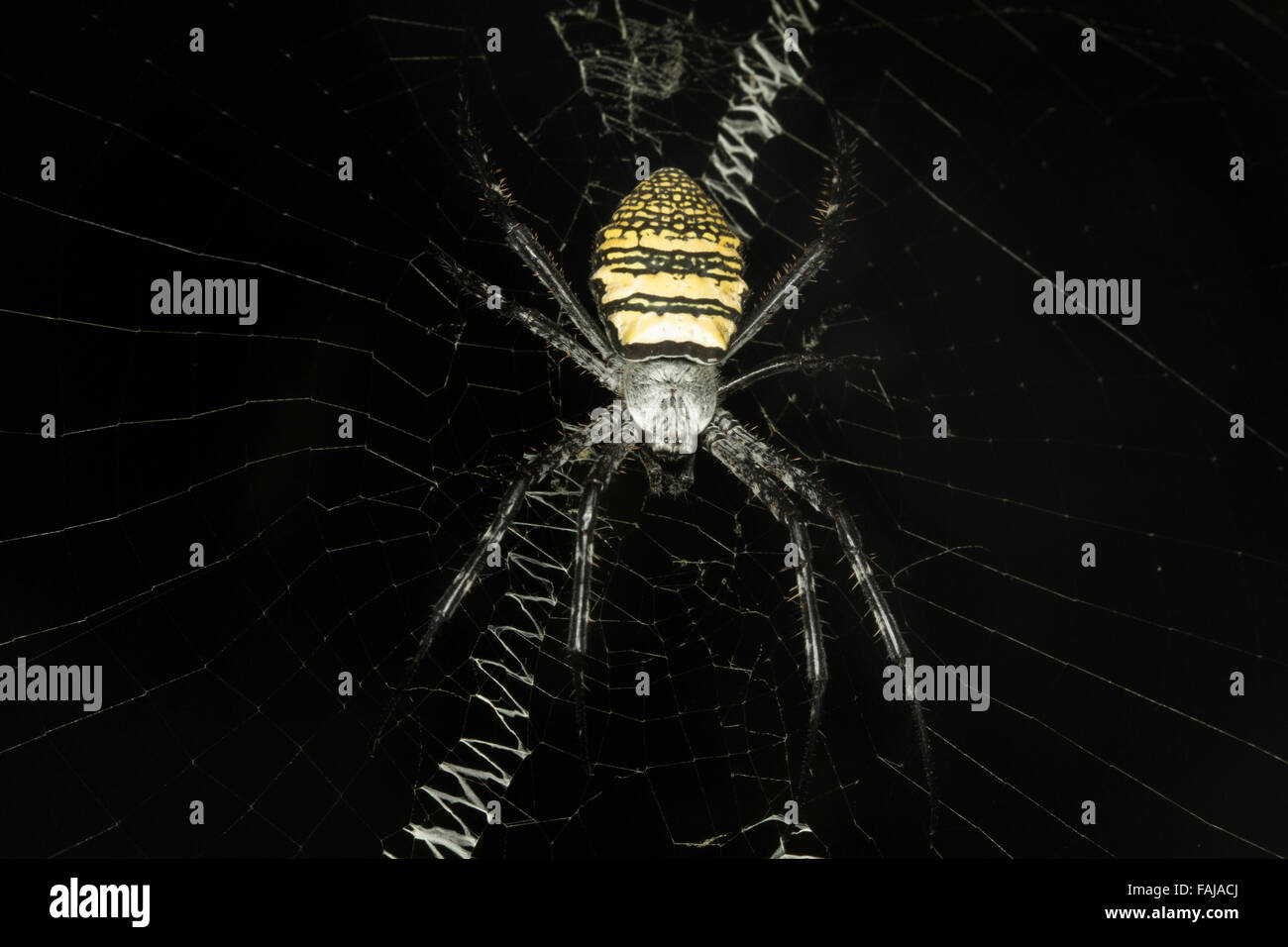 Signatur-Spider, Wespenspinne SP., NZB, Bangalore, Indien Stockbild