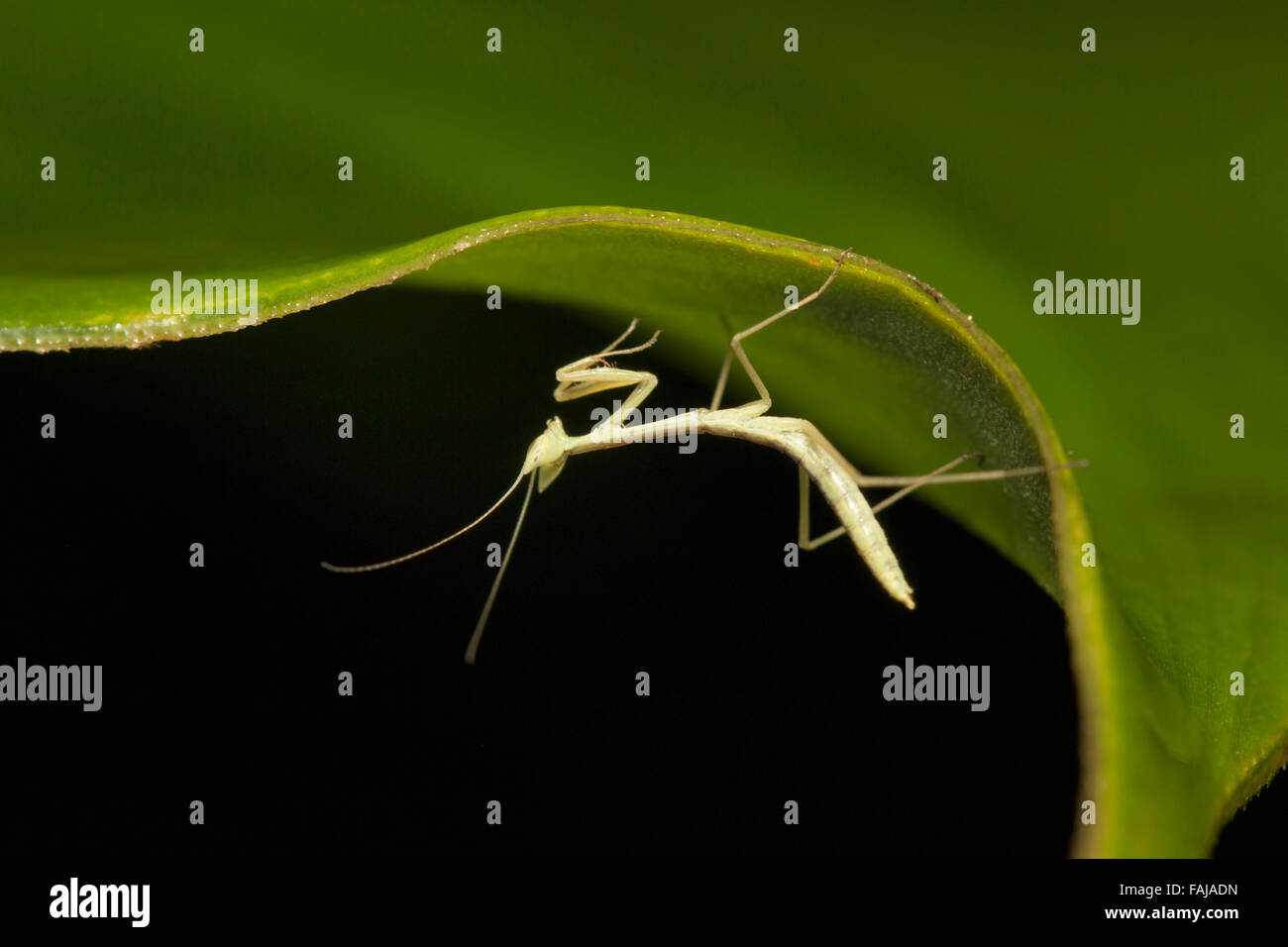 Mantis, Ordnung Mantodea, Aarey Milch Kolonie, Indien Stockbild