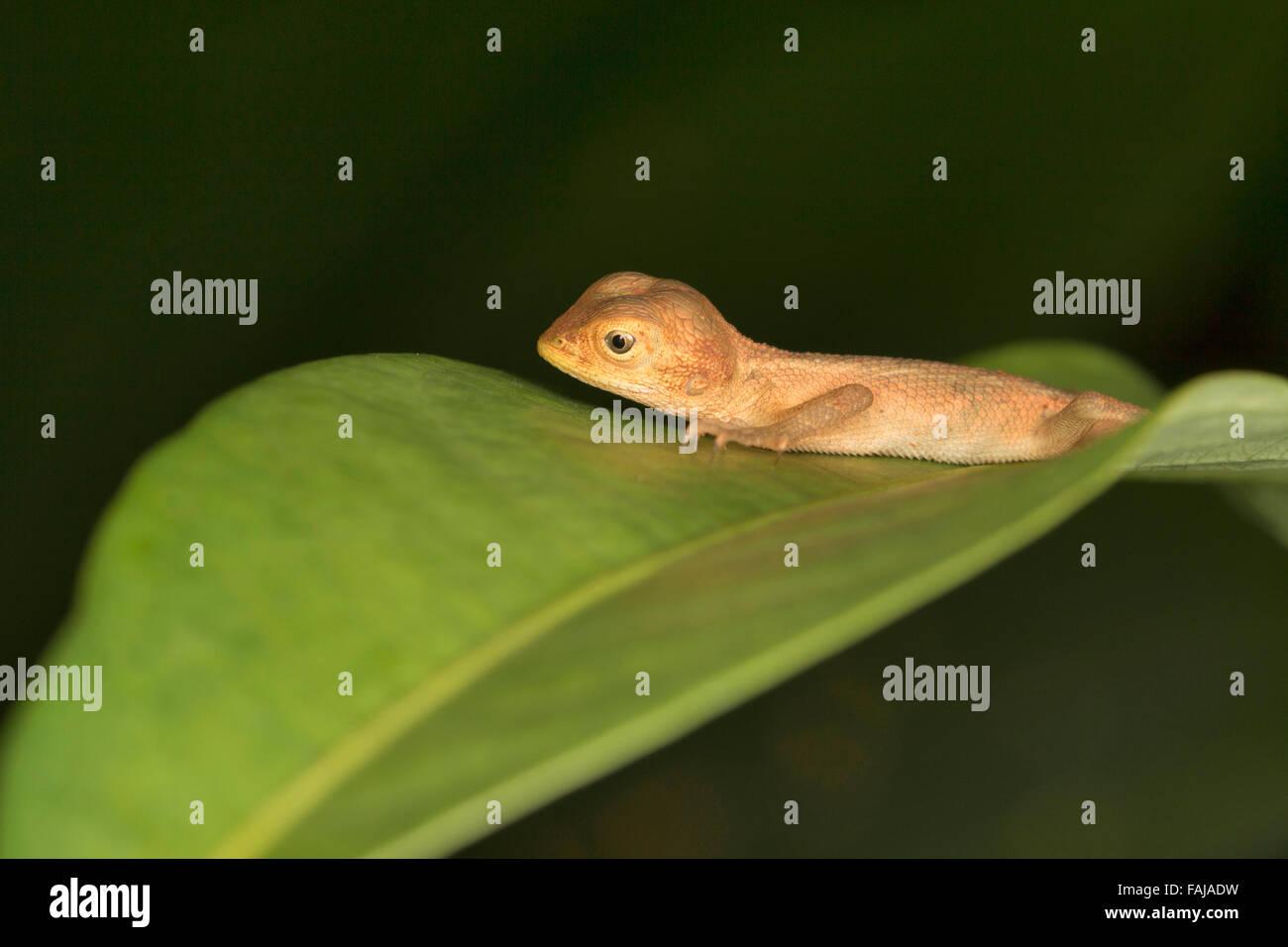 GEMEINEN Garten Eidechse, Calotes versicolor oder Blutsauger, Common, Aarey Milch Kolonie Indien Stockfoto