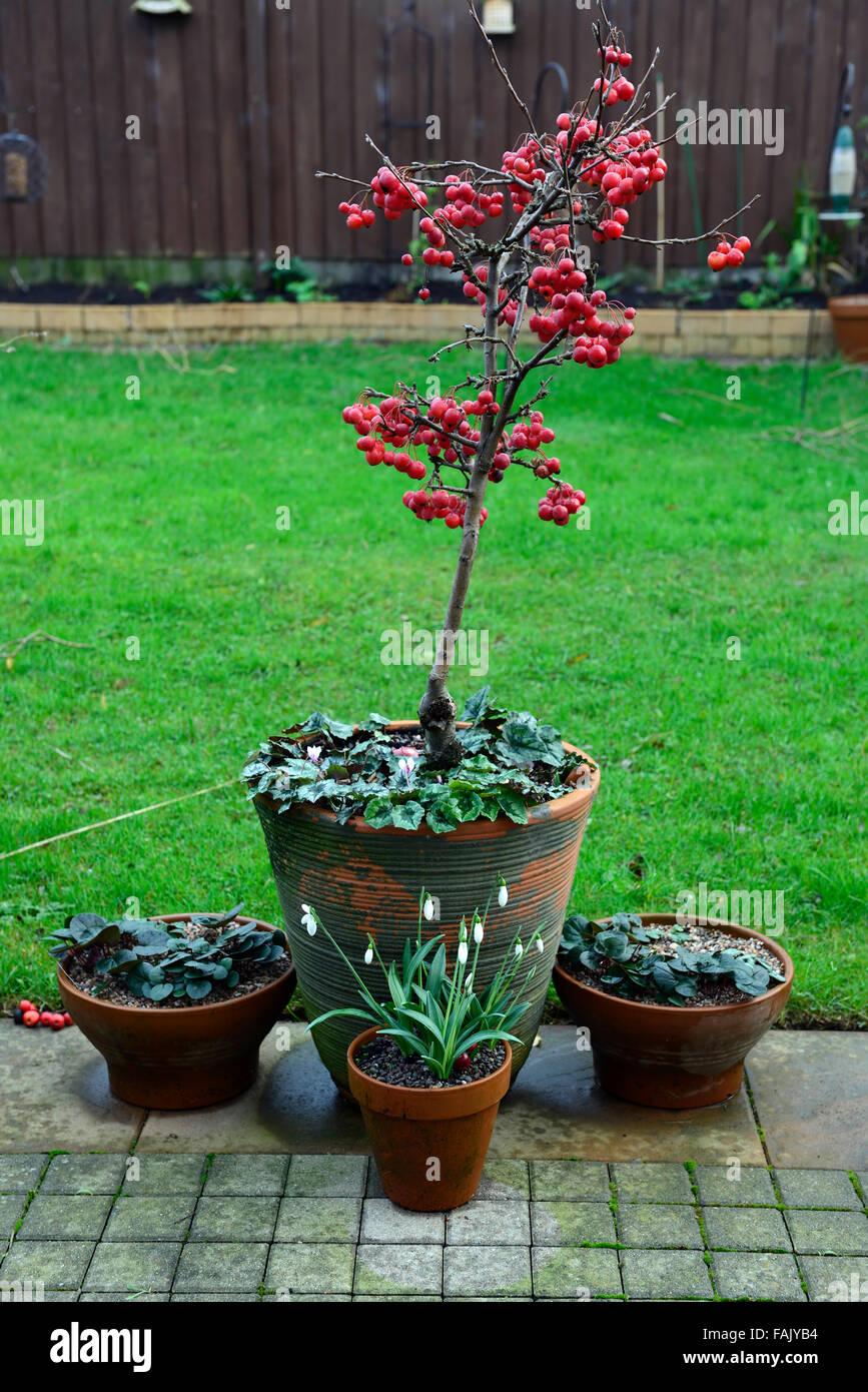 Zwerg Holzapfel Baum Winter Weihnachten Rote Beere Beeren Apfel