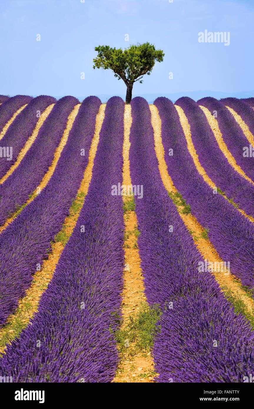 Lavendel-Feld und Olivenbaum in Valensole an einem warmen Sommernachmittag. Südalpen (Alpes de Haute Provence), Stockfoto