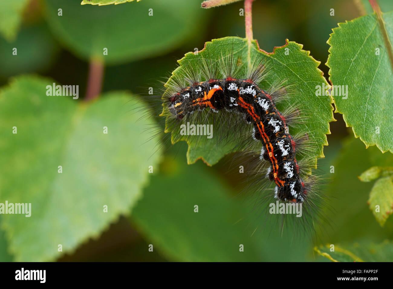 Gelb - Schwanz Motte Larve (Euproctis Gleichnisse) Fütterung auf Blatt. Shropshire, Großbritannien Stockbild