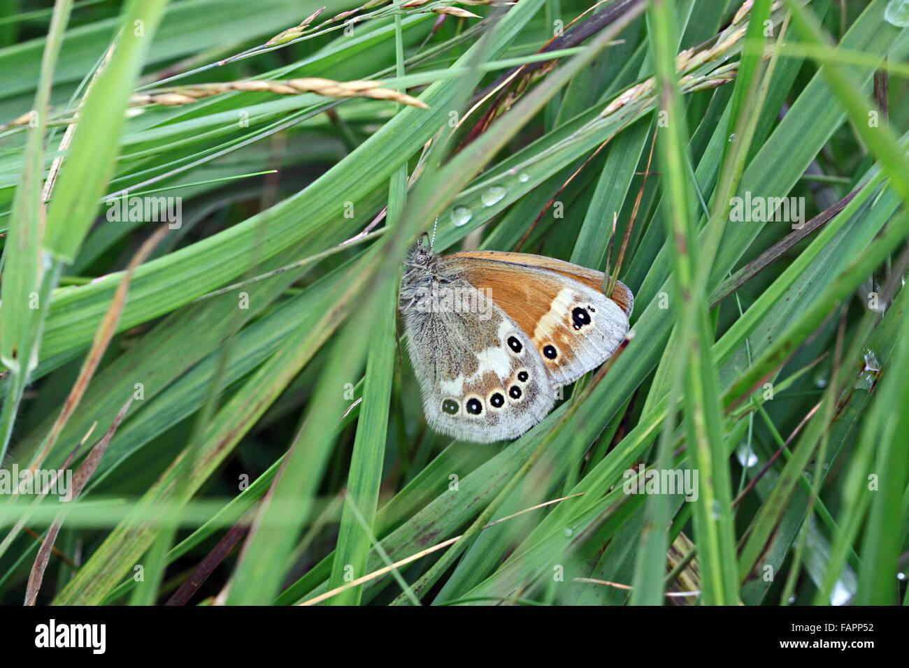 Große Heide (Coenonympha Tullia) Schmetterling auf Whixall und Fenns Moos Naturschutzgebiet Shropshire, England Stockbild