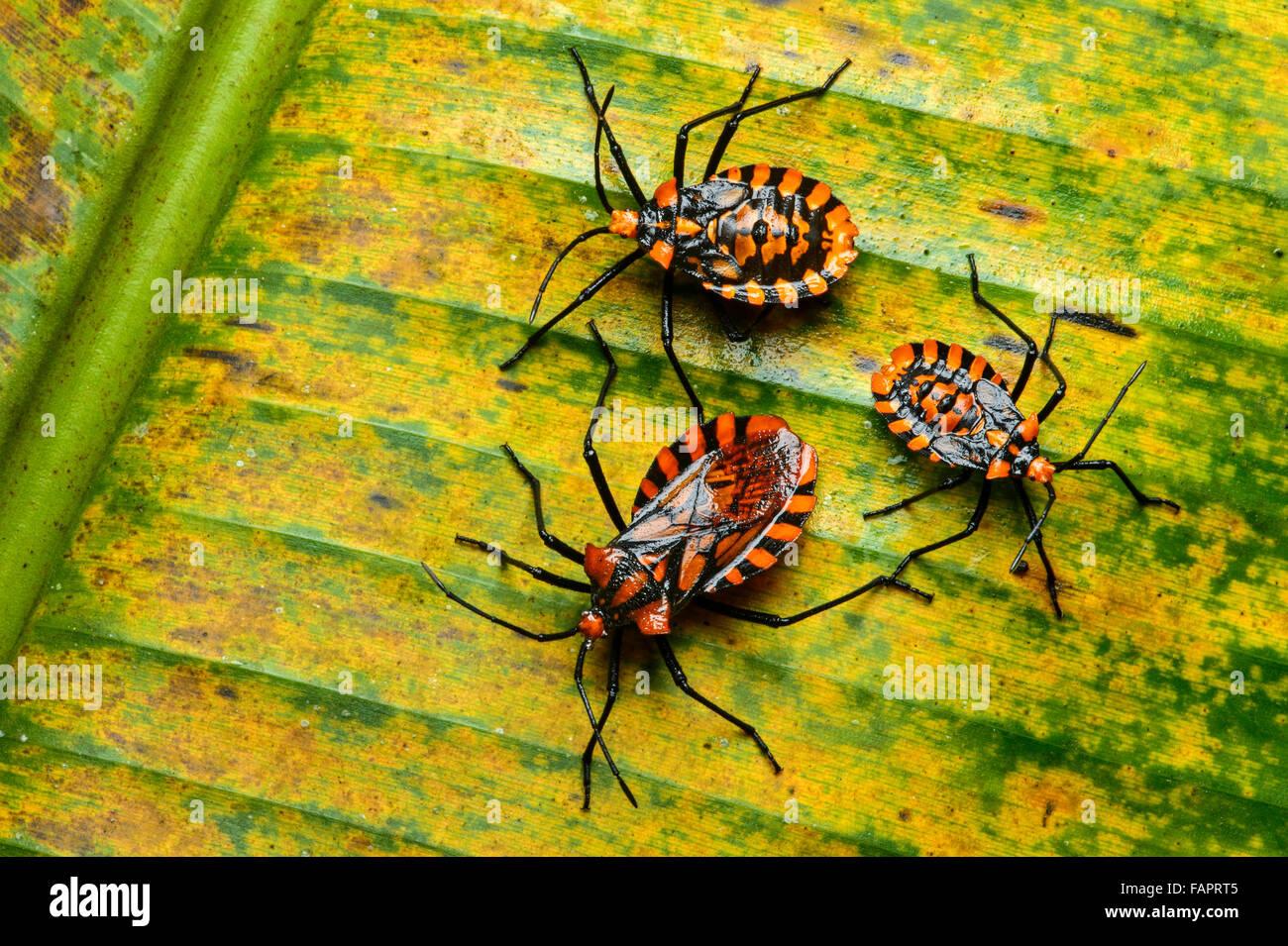 Coreidae (Coreidae) Nymphen und Imago, Anden Nebelwald, Mindo, Ecuador Stockbild