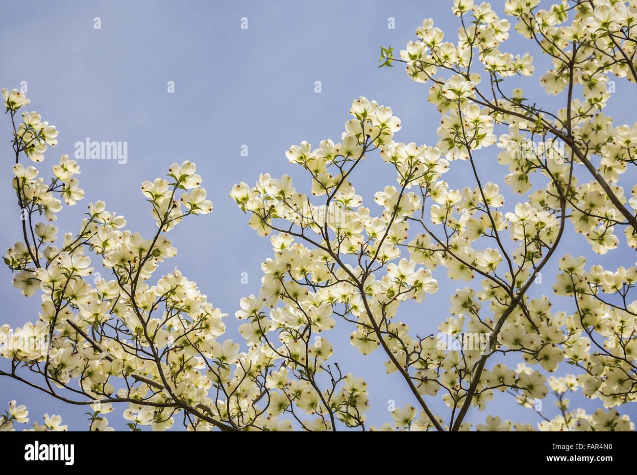 Suchen Nach In Niederlassungen Von Weißen Blumen Hartriegel Cornus