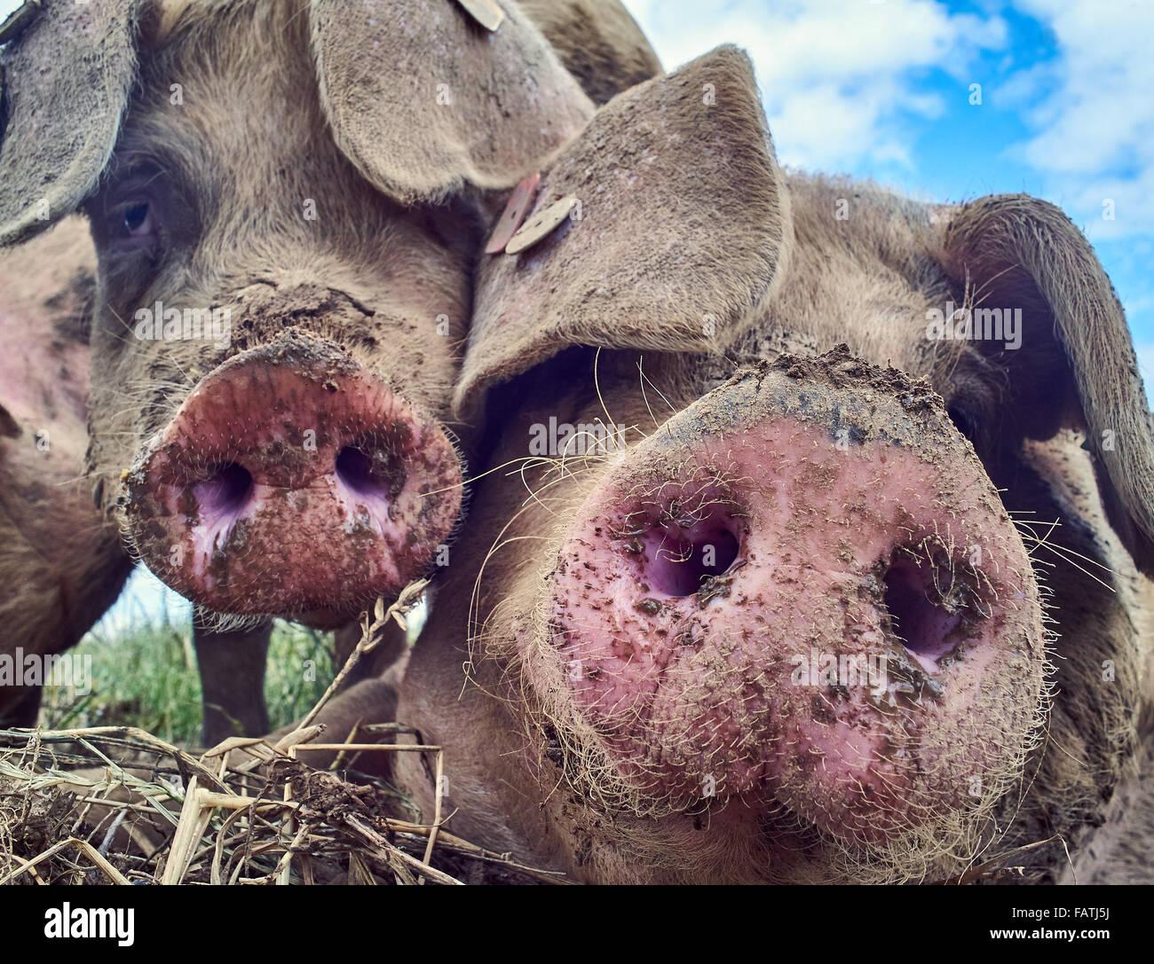 Kopfschuss von freilaufenden Schweinen in einer Wiese hautnah Stockbild