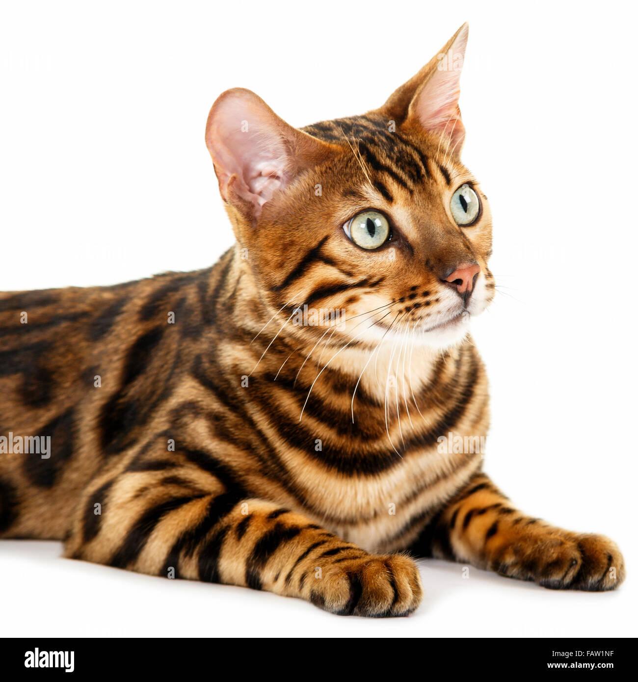 Männlich Bengal Katze Portrait auf weißem Hintergrund isoliert Model Release: Nein Property Release: Nein. Stockbild