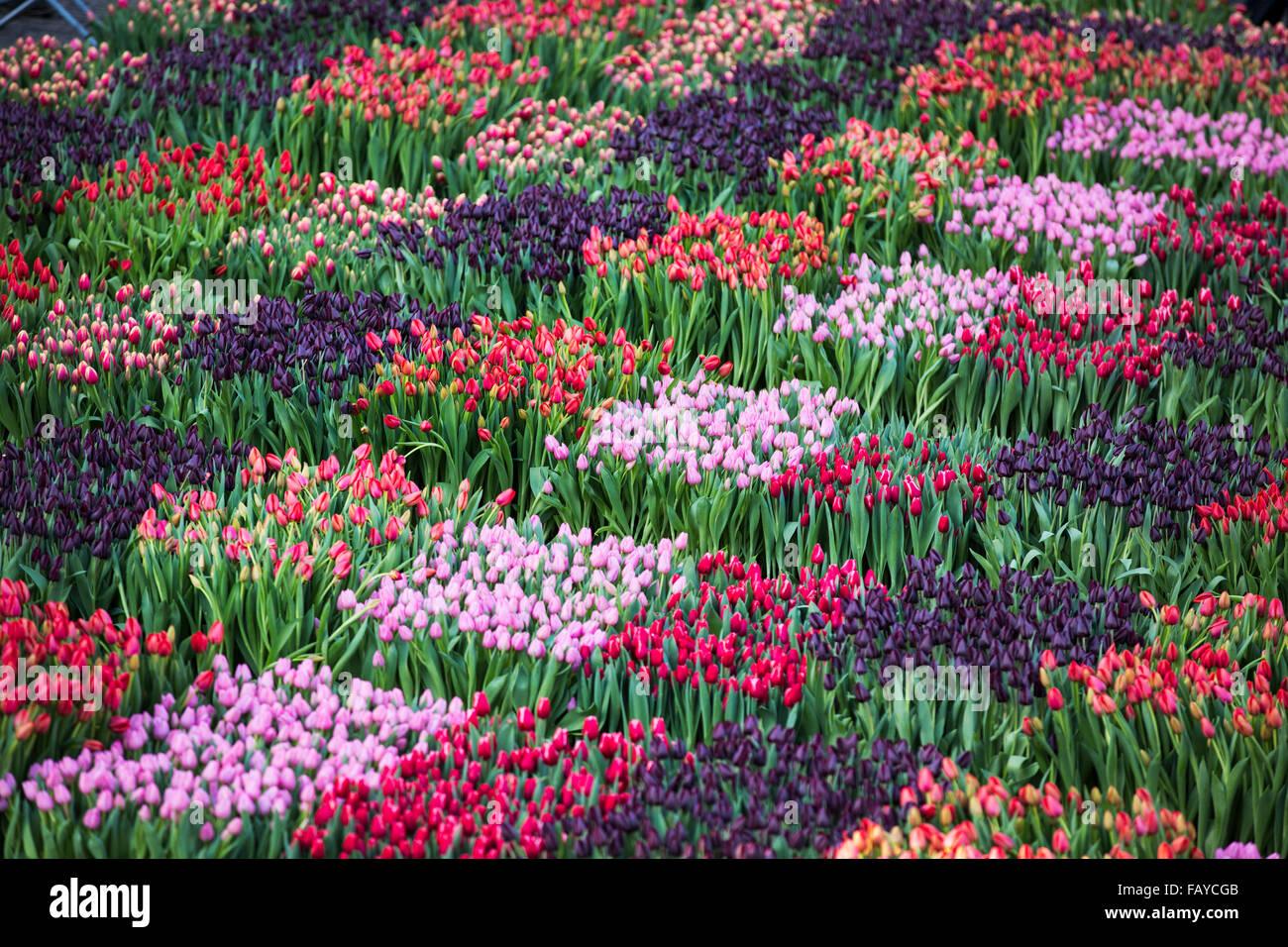 niederlande amsterdam beginn der tulpe saison am dam platz menschen k nnen die tulpen. Black Bedroom Furniture Sets. Home Design Ideas