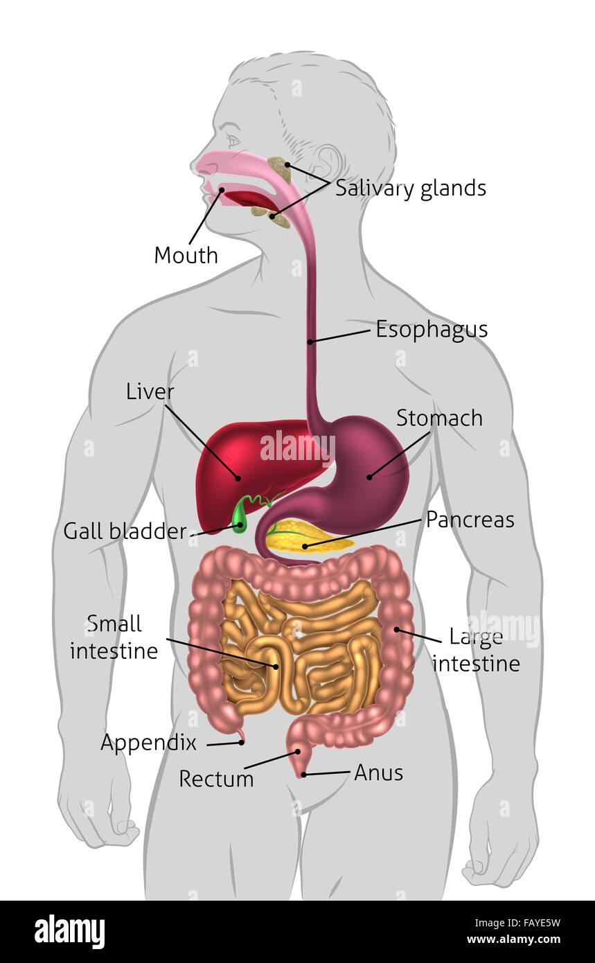 Das menschliche Verdauungssystem, Verdauungstrakt oder ...