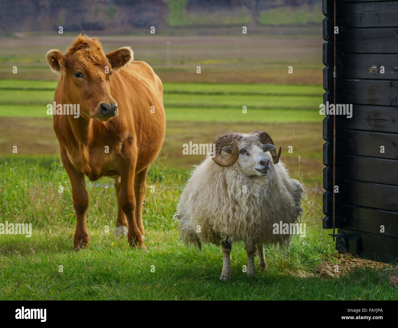 Junge Kuh und Schaf sind frei herumlaufen und Weiden auf Gras, Hraunsnef Farm, Nordurardalur Tal, Island Stockbild