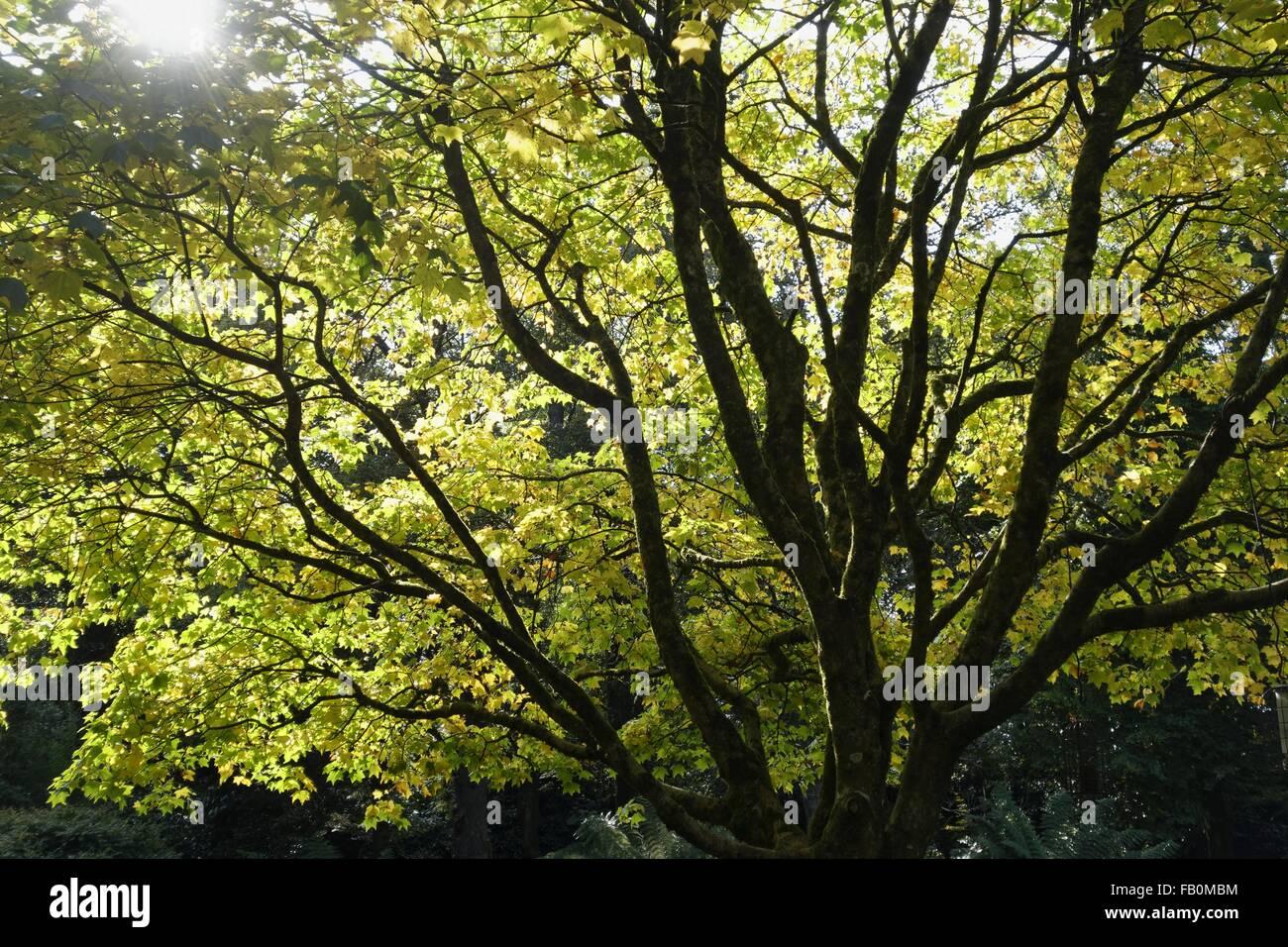 Sonne fällt durch Baumkronen, Cornwall, UK. Stockbild