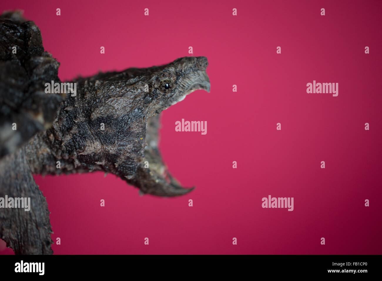 Seitenansicht des Alligator Schnappschildkröte öffnen Mund vor rotem Hintergrund Stockbild
