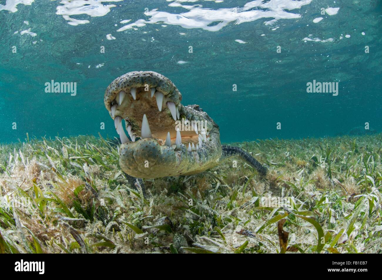 Unterwasser Vorderansicht des Krokodils auf Seegras, Mund öffnen zeigt Zähne, Chinchorro-Atoll, Quintana Stockbild