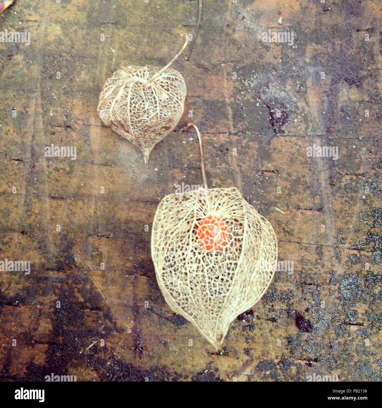 Blatt-Skelette-Lampions Stockbild