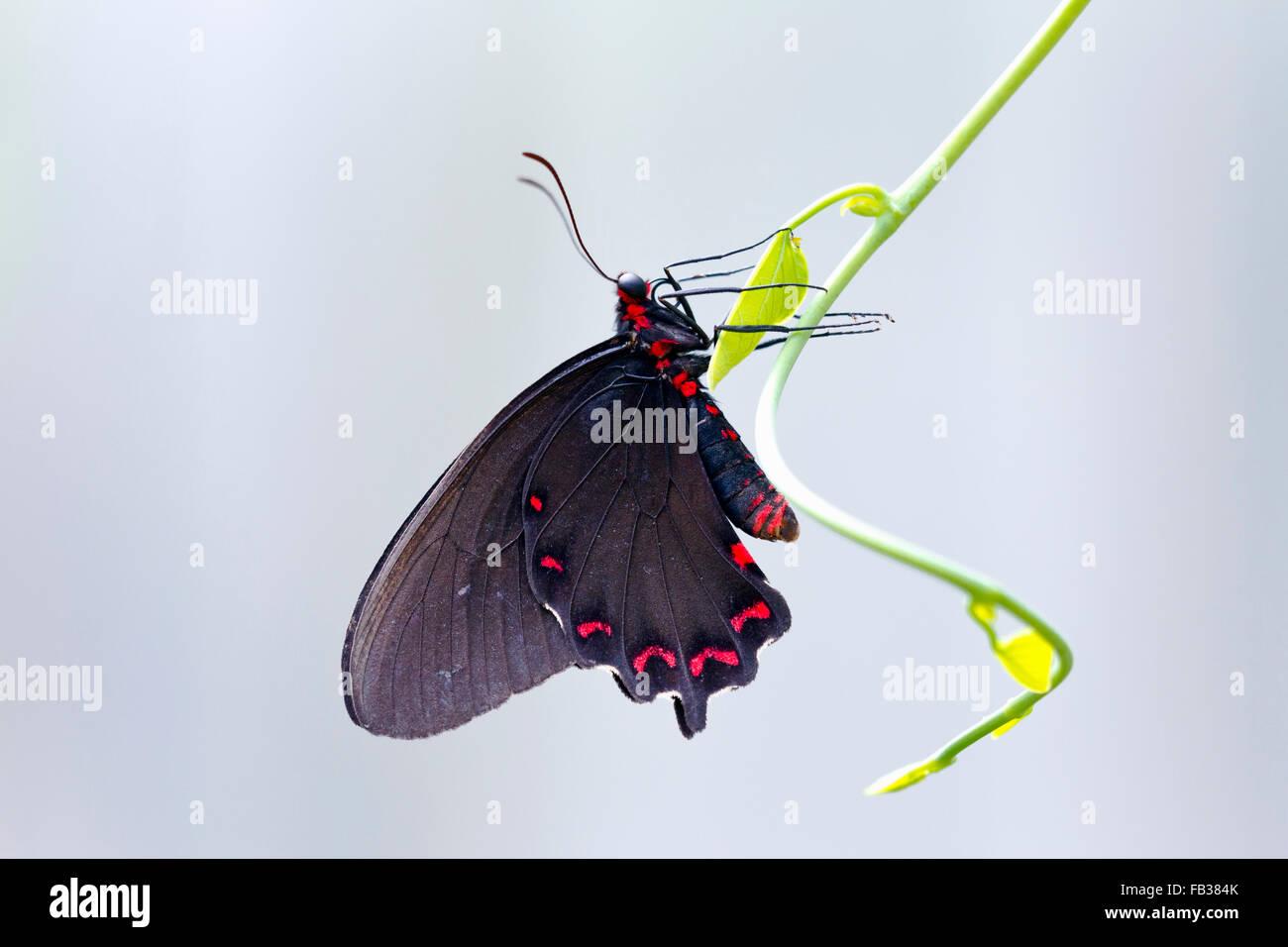 Schwarze und rote Schwalbenschwanz Schmetterling Stockbild