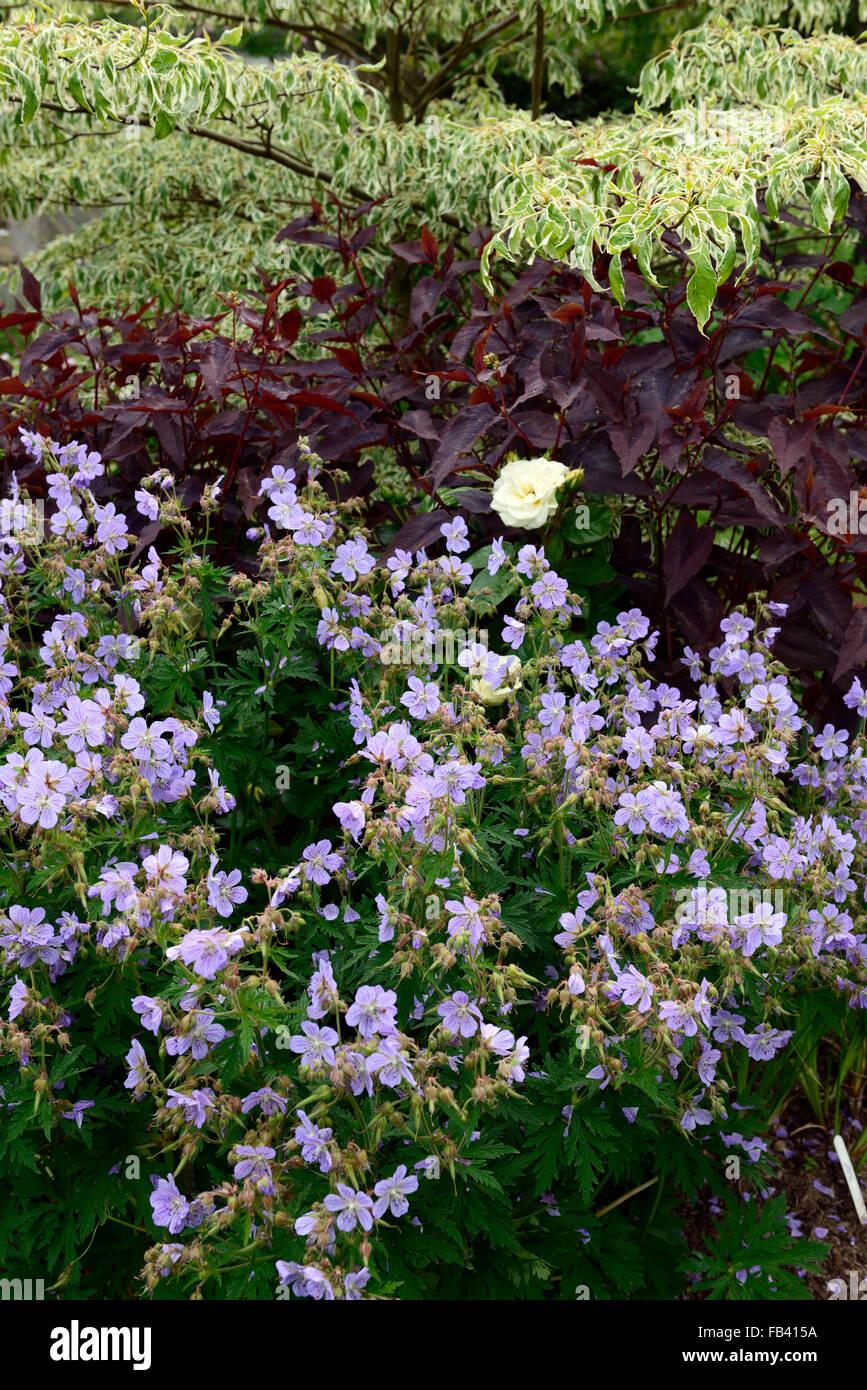Geranie Frau Kendall Lysimachia Ciliata Purpurea Cornus Variegata mischen gemischte Pflanzung Regelung RM Floral Stockbild
